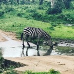 Zebra crossing zebra Safari masaimara kenya africa